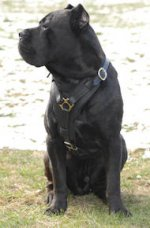 Exclusive Luxury Handcrafted Padded Leather Cane Corso Harness