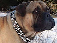 Mastiff Curogan dog pinch collar made in Germany-training collar