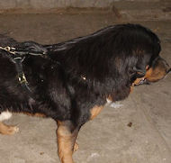 Tibetan Mastiff Leather Harness for Agitation Training