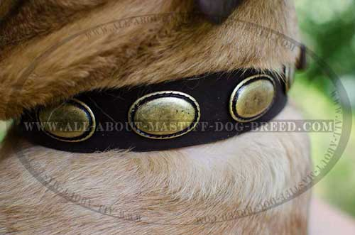 Cane Corso Decorated Leather Collar Dog Walking