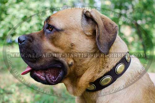 Cane Corso Decorated Leather Collar Safe