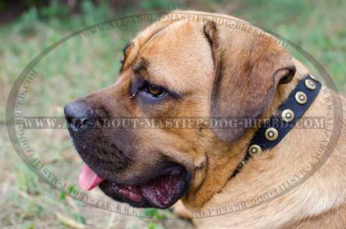 Cane Corso Studded Leather Collar Decorated with Unusual Design Circles