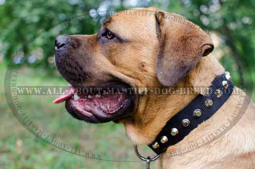 Adjustable Cane Corso leather collar