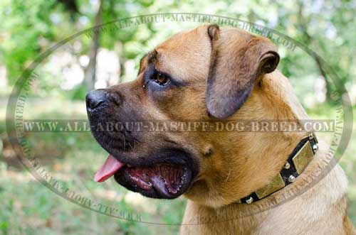 Leather Cane Corso collar for comfortable walking