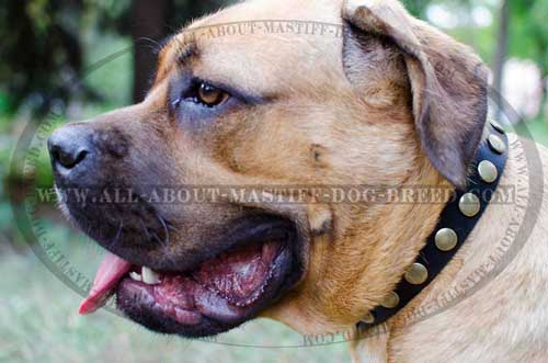 Chic Cane Corso leather collar exclusively decorated
