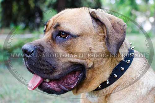 Cane Corso everyday full grain leather collar
