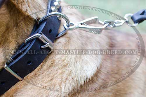 Comfortable buckled leather collar for Cane Corso