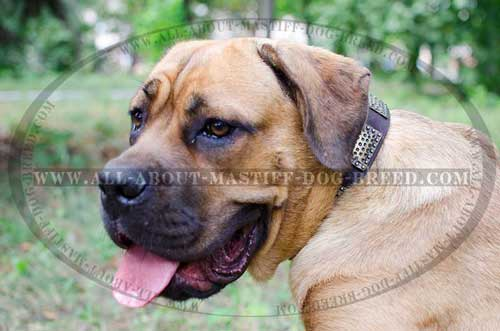 Cane Corso leather collar for walking and training