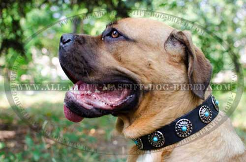 Breathtaking Cane Corso leather dog collar decorated with round studs