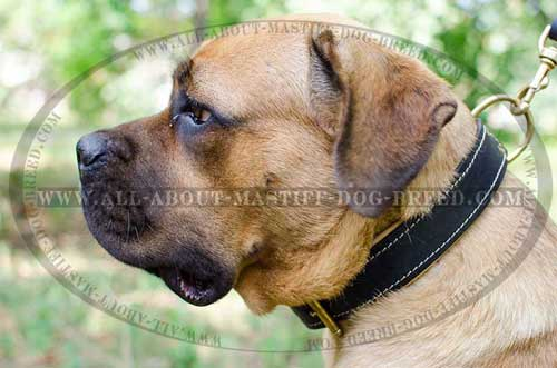 Super soft Cane Corso walking leather collar with Nappa padding