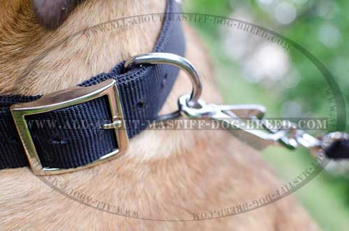 Cane Corso nylon collar with stainless buckle and D-ring