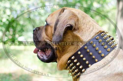 Spiked Cane Corso leather collar for fashionable walking