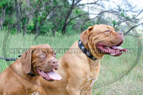Dogue de Bordeaux adjustable leather collar