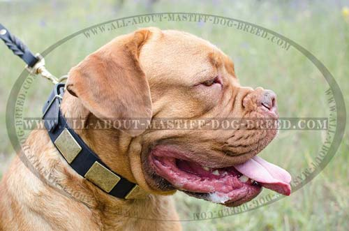 Magnificent leather collar for Dogue-de-Bordeaux with plates