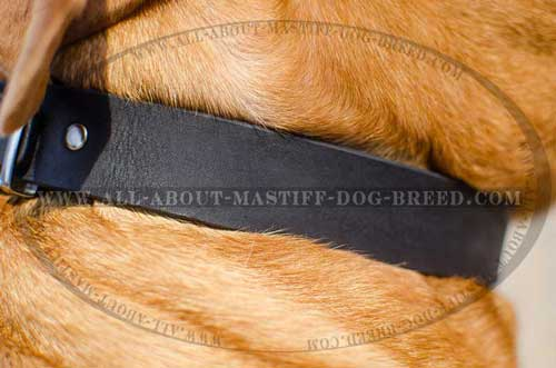 Non-stretching leather collar for Dogue-de-Bordeaux