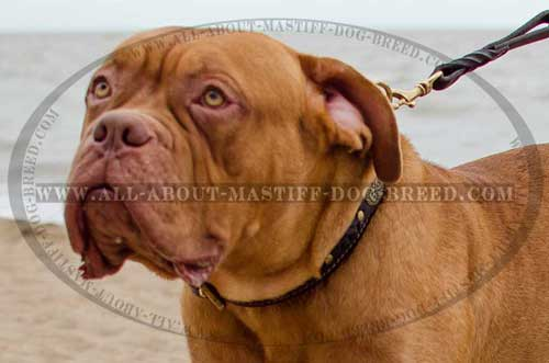 Dogue-de-Bordeaux super strong and tear-proof leather collar