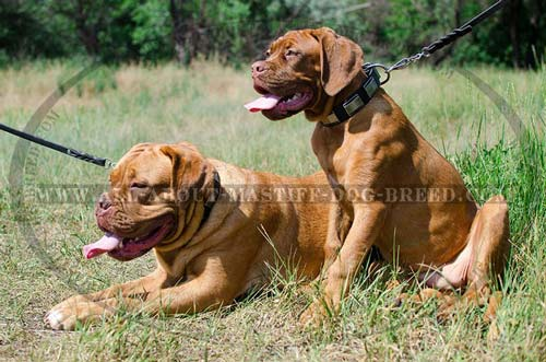 Multifunctional leather collar with decorations for Dogue-de-Bordeaux