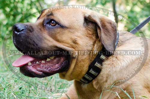 Cane Corso Leather Collar for Everyday Walking in Style