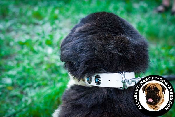 White Mastiff collar with durable hardware
