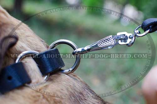 Unbreakable nickel plated Mastiff collar