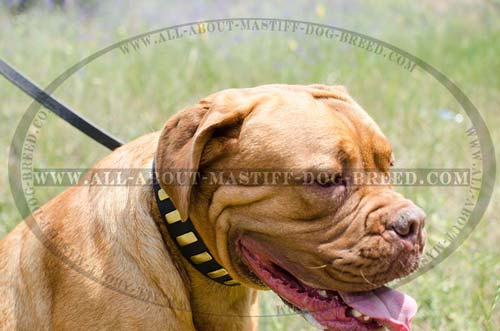 Reliably riveted Mastiff collar