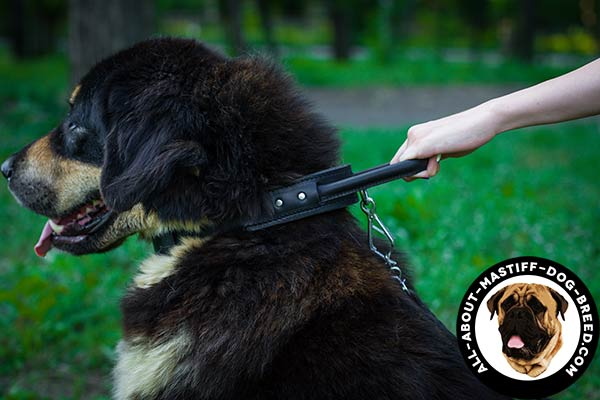 Easy to handle Mastiff collar