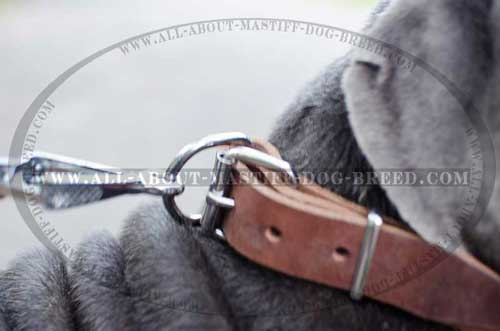 Leather collar with nickel fittings for Mastino Napoletano