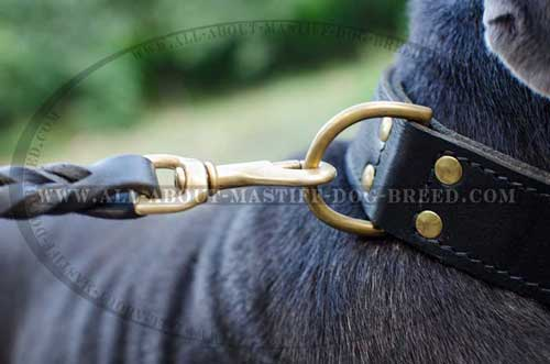 Mastino Napoletano leather collar with sturdy D-ring
