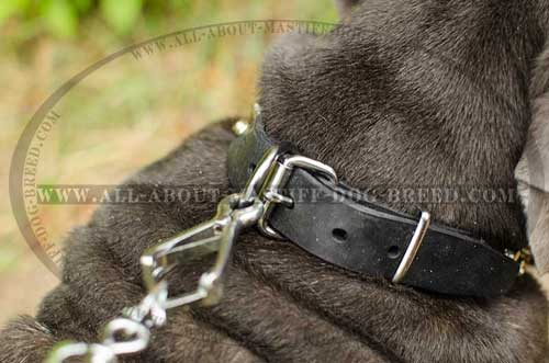 Leather Mastino Neapolitano collar with steel fittings