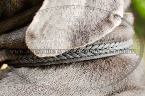 Elegant leather dog collar with braids for walking