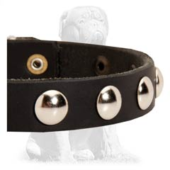 Leather Mastiff collar with nickel hardware