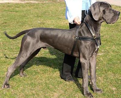 Tracking/PullingLeather Dog Harness For German Mastiff [H5 ...  German Mastiff Breeds