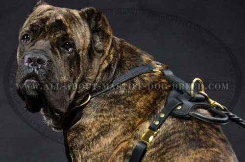 Cane Corso Leather Harness for Better Control