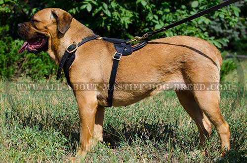 Cane Corso Leather Harness Padded