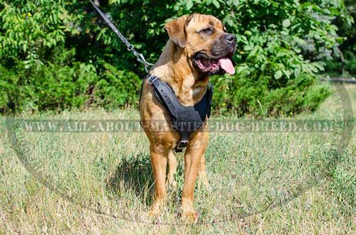 Leather Cane Corso harness with felt padded chest plate for better protection