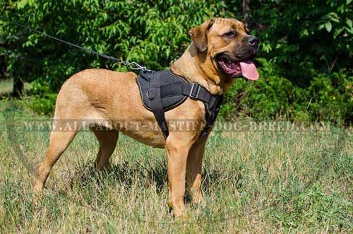 All weather nylon harness for Cane Corso
