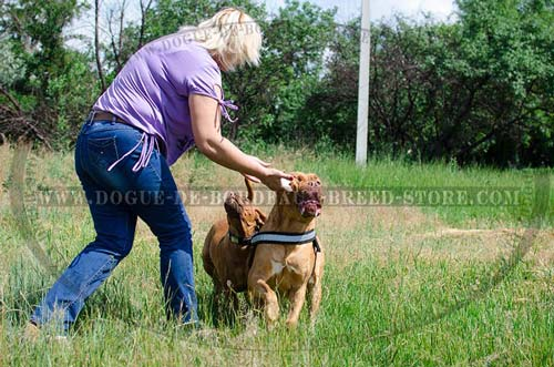 Non-stretching nylon harness for Dogue De Bordeaux