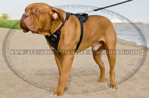 Dogue de Bordeaux harness for splendid walking