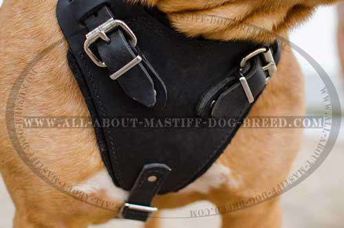Dogue de Bordeaux harness with wide chest plate for attack training
