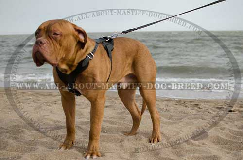 Dogue-de-Bordeaux super strong harness for agitation training