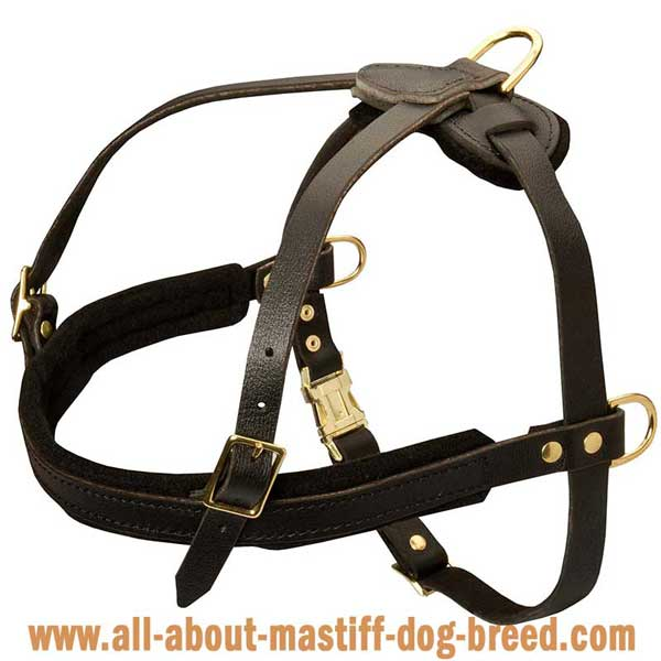 English Mastiff leather harness with wide straps