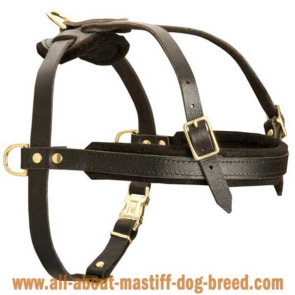 French Mastiff leather harness with wide straps