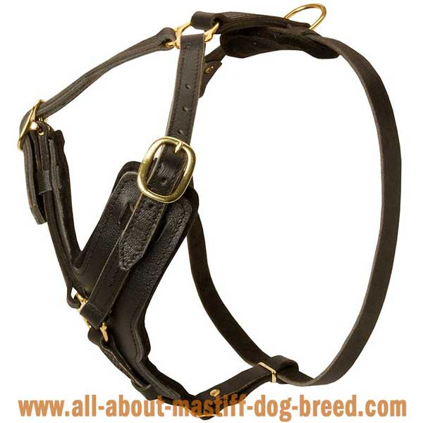 French Mastiff leather harness with Y-shaped chest plate