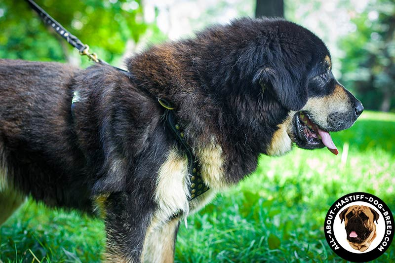 dog harness how to wear