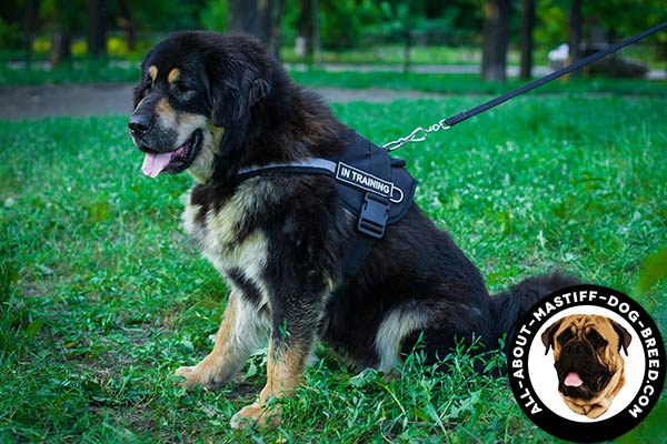 Walking Mastiff harness with reflective strap