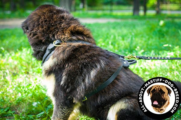 Lightweight leather Mastiff harness