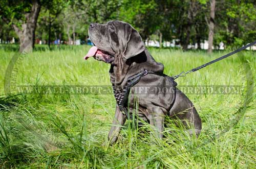 Fashion Mastino Napoletano harness comfy to wear