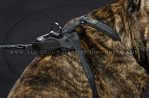 Leather Dog Harness for Cane Corso Breed Equipped with Better grip Handle