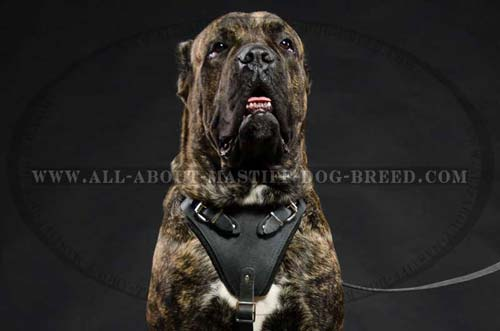 Cane Corso harness for agitation work