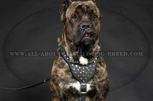Studded dog harness for Mastiff breed